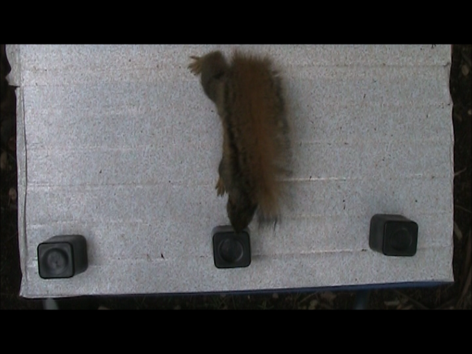 A squirrel chooses the center cup instead of one of the end cups.