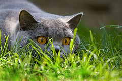 Some cats like to stalk from behind grass. Photo by Dennis Carr/Postal 67 via Flickr/creative commons
