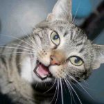 Is meowing a reliable way to measure personality in cats?