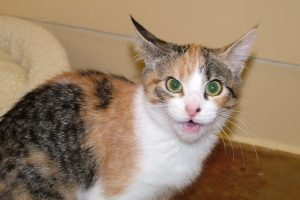 Vocalizations may be an indicator of pain in some cats.