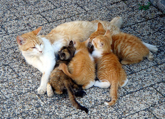 Kittens might be cute, but spaying/neutering increases life span. Photo via Wikimedia Commons.