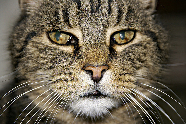 Cats are considered seniors by the age of 10 or so. Photo by Edward Townend, https://www.flickr.com/photos/townendphotography/